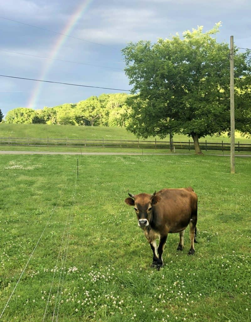 miniature jersey cow under a rainbow