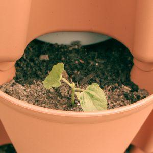 bush bean sprout in vertical garden planter