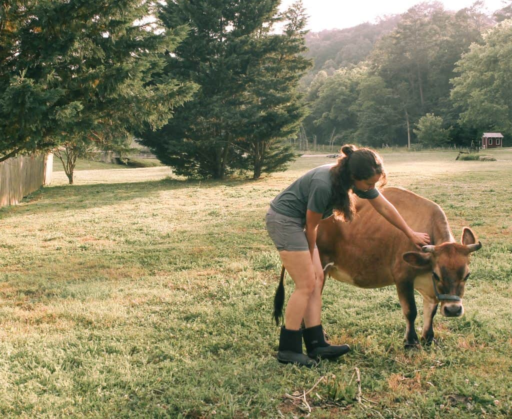 woman petting mini jersey cow