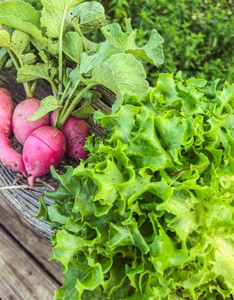 radishes and lettuce planted in september