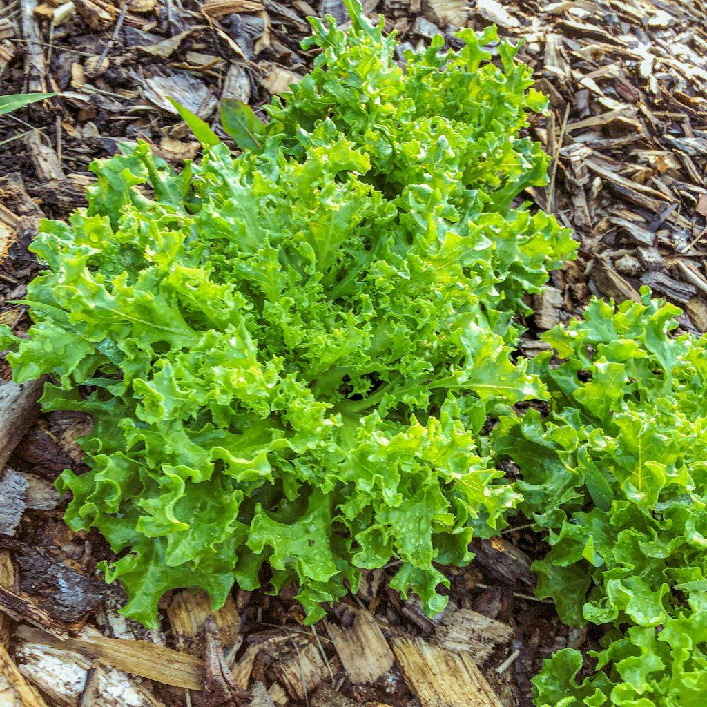 lettuce grown in fall garden